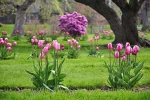 Найпопулярніші первоцвіти - тюльпани