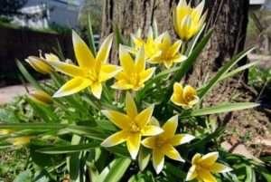 тюльпани - багаторічні квіти