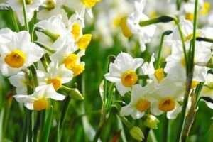 Нарциси - чудове доповнення до тюльпанів