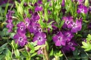 Барвінок - тіньовитривалі багаторічні квіти