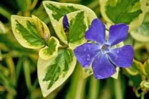 барвінок - плетюча багаторічна квітка