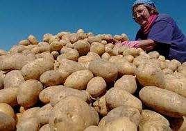 Опис картоплі сорту Лідер