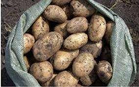 Сорт картоплі Лідер