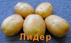 Посадка картоплі сорту Лідер