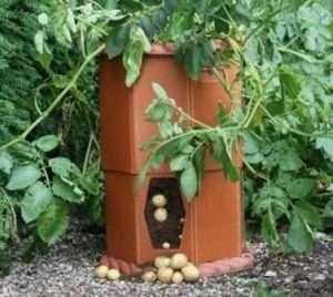 Переваги вирощування картоплі в місткості
