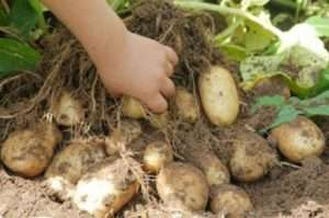 Картопля Удача - основні характеристики