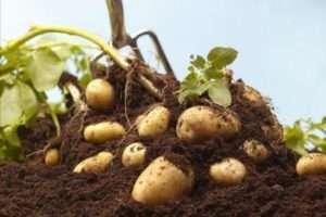 Як підготувати грунт до посадки картоплі сорту Удача