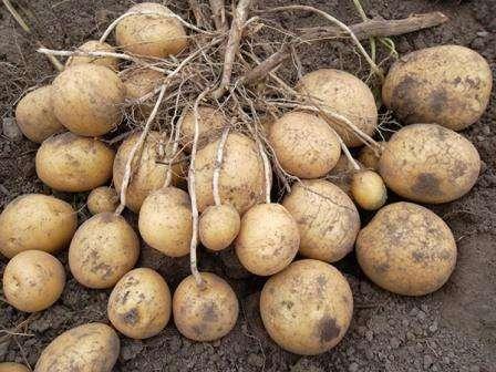 Картопля Удача - опис сорту з фото, його вирощування характеристика і правила догляду