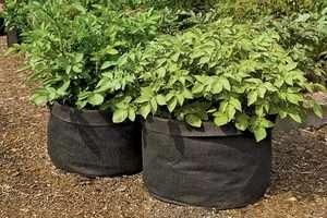 Підживлення картоплі, яку вирощують в ємності