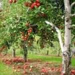 Турботи про майбутній врожай в саду в серпні в Україні
