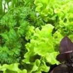 Як зберегти зелень на зиму в домашніх умовах довго і правильно