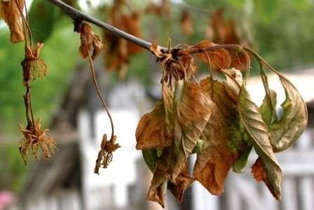Хвороба Моніліоз вишні: характеристика, лікування хвороби, профілактика та заходи боротьби з фото