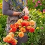 Серпневі турботи садівника на клумбах та квітниках дачі