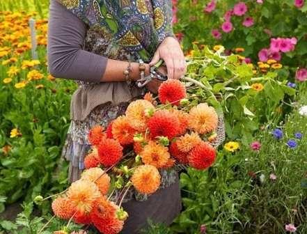 Дачні клумби та квітники в серпні: доогляд, розмнодення, полив та пересадка квітів з фото