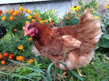 Турбота та догляд за домашніми тваринами - заготівля кормів в серпні на зиму з фото і відео