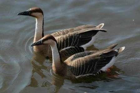 Кубанська порода гусей: догляд, розведення, характеристика та опис породи з фото
