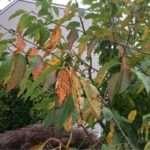 Коккомікоз вишні: характерні симптоми і заходи боротьби з ним