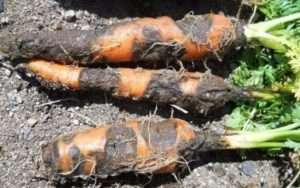 Сіра гниль на моркві