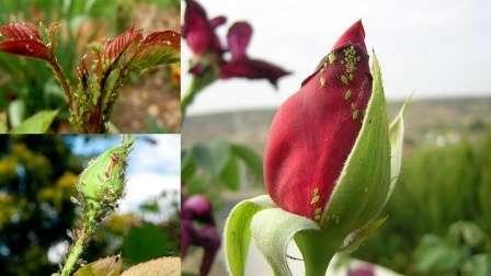 Шкідники троянд: опис з фото, характеристика, лікування, профілактика та боротьба з ними