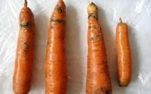 Морквяна муха: фото і засоби боротьби зі шкідником на грядках