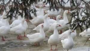 Характеристика породи Губернаторські гуси