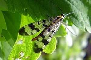 Малинна стеблова муха