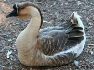 Догляд за Кубанською породою гусей