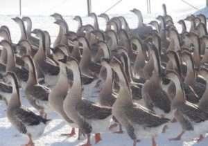 Недоліки кубанських гусей