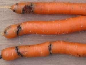 Пошкождена морква від личинок