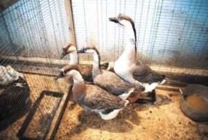 Скоростиглість Кубанських гусей