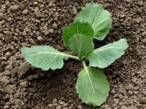 Посадка овочів в червні за дачним календарем