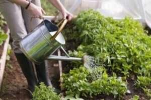 овочі у червні одразу починають давати приріст