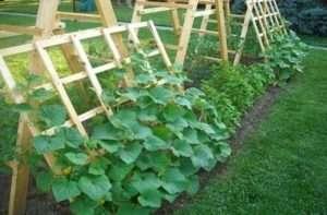 Догляд в червні за огірками, кабачками і патисонами
