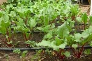 Дачний календар: як доглядати за морквою, буряками і іншими коренеплодами у червні