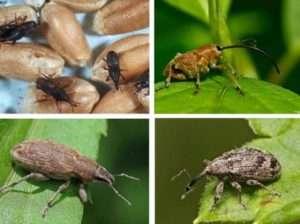 Личинки довгоносика можна знищити завдяки харчовій соді