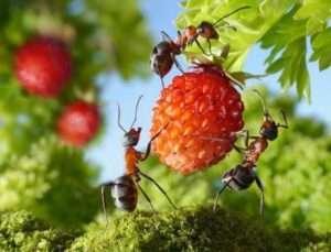 Харчова сода в боротьбі з мурахами