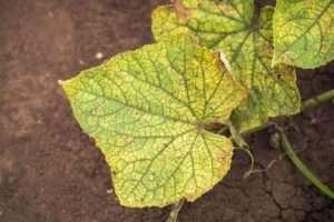Чому жовтіє листя в огірків та як з цим боротися