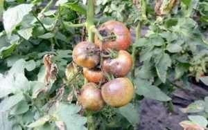 Хвороби помідорів: фітофтороз і боротьба з ним