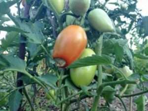 Хвороби помідорів у теплиці і як з ними боротися