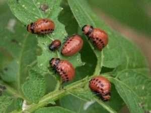 Комахи-шкідники помідорів у теплиці і на відкритому ґрунті