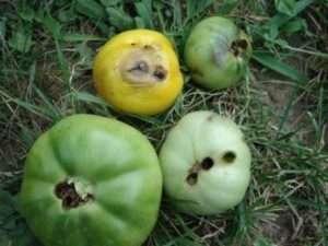 томати вражені гусеницями совки