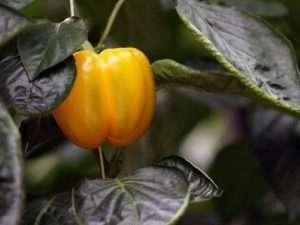 Фітоплазмоз – хвороби перцю, що переносять комахи