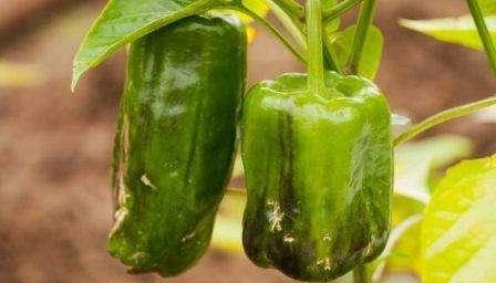 Хвороби перцю і його шкідники: лікування та боротьба з ними