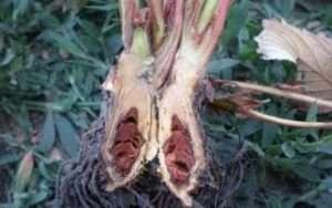 фітофорозне в'янення полуниці
