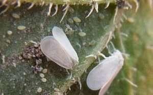 Покрокова інструкція для винищення білокрилки