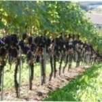 Обрізка винограду для початківців: терміни, варіанти з прикладами на фото і відео