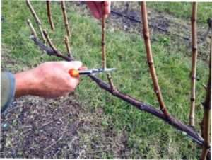 Коротка обрізка винограду