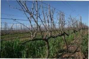 Штамбова форма обрізки винограду