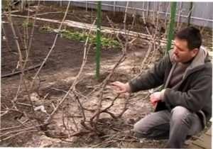 Віялова форма обрізки винограду