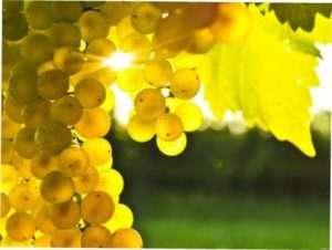 Терміни обрізки виноградної лози в залежності від регіону